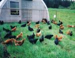 Heritage-breed hens at Bunnett Family Farm