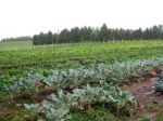 Veggie fields at Jemseg River Farm