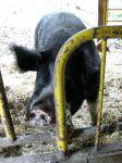 Organically reared Hogs at Oak Manor Farm, NS