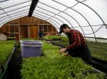 Busy in the greenhouse at Taproot Farms, NS